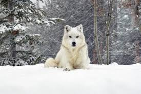 white wolf wallpaper 1920x1080. Simple White White Wolf Wallpapers Images All Wallpaper Desktop 1920x1080 Px 52973 KB  Animal Dark Throughout T