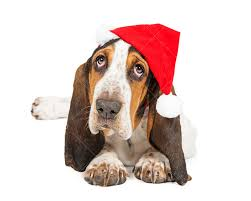 A cute young Basset Hound breed puppy <b>dog</b> wearing a <b>Christmas</b> ...