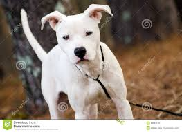 white pitbull terrier puppies. Interesting Terrier Download White Pitbull Terrier Puppy Dog Stock Image  Of Terrier  Boxer 84067109 Throughout Puppies T