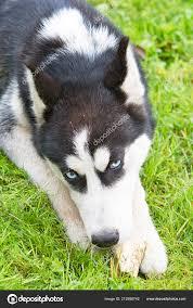 cute siberian husky toy gr cute dog stock photo