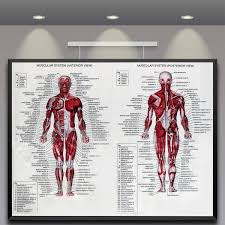 Us 4 75 Silk Cloth Muscle System Posters Anatomy Chart 60x80cm Human Body Educational Pictures Mural Home Wall Decoration Accessories In Painting