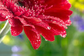 Flowers Gerbera Water Drops HD ...