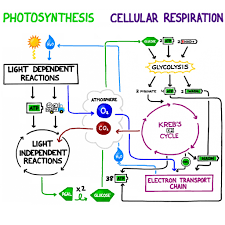 Comparison Of Photosynthesis And Respiration Processes Note