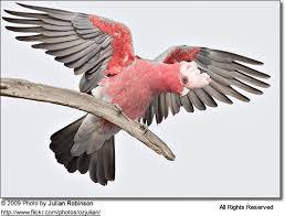 Galah Or Rose Breasted Cockatoos Roseate Beauty Of Birds