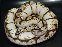 Ball Python Morph Chart Calibee Morph List World Of Ball Pythons