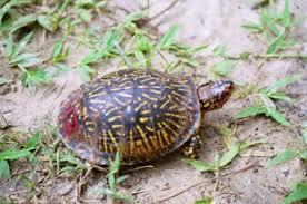 Box Turtles Of Louisiana Hubpages