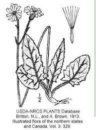 Hieracium - Online Virtual Flora of Wisconsin