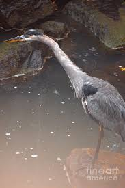 Great Blue Heron In Fog Photograph by Aubrey Moat