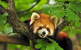 Red panda hd wallpaper   1920x1200