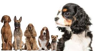 Cavalier Weight Chart Cavalier King Charles Spaniel Mix Is One Of These Dogs