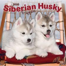 siberian husky puppies wall calendar