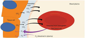 Gas Exchange Chart Gas Exchange Anatomy And Physiology Ii