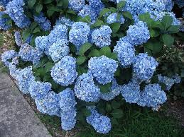 Image result for hydrangea shrubs