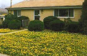how to get rid of weeds in garden. Dandelions Are Pretty When They Bloom, However Soon Spread Seeds By Puffballs To Take How Get Rid Of Weeds In Garden H
