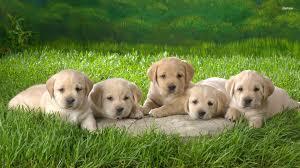 lab puppy wallpapers. Modren Puppy 2560x1600 Dog Black Labrador Retriever Look Inside Lab Puppy Wallpapers E