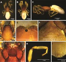 Descriptions of <b>two</b> new genera of the spider family Caponiidae ...