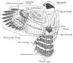 upperparts of raptor