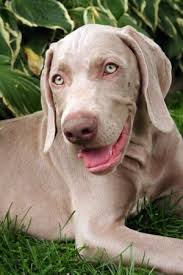 close up a gray weimaraner puppy that is laying outside in gr and it is