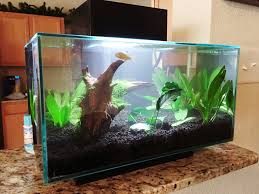 Labyrinth Fish Tank Fluval Edge 6g Santas Present To The Kids The Planted Tank Forum