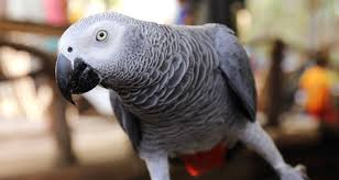 African Grey Parrot Species Profile Diet Intelligence And