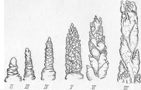 Технология возделывания яровой пшеницы Курсовая работа страница  Начало iii этапа органогенеза совпадает обычно с появлением третьего Этот этап знаменует собой переход к формированию зачаточного соцветия колоса