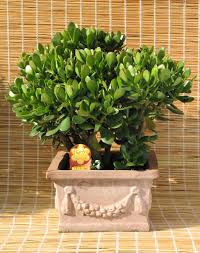 jade poisonous plants for dogs