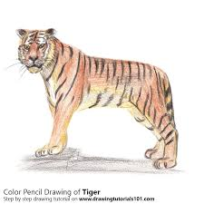 color tiger drawing.  Tiger Tiger Color Pencil Drawing With