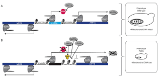 Efficient Termination Of Nuclear Lncrna Transcription Promotes
