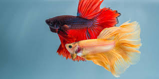 Betta Genetics Chart How To Choose Betta Fish Tank Mates
