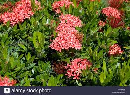red ixoria west indian jasmine flowers against a background of green leaves st lucia