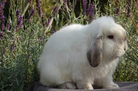 Mini Lop Colour Chart Holland Lop Color Chart Holland Lop Rabbit Colors Ohio