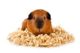 use newspaper for guinea pig bedding