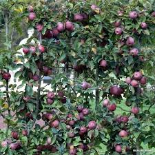 in the garden most inspiring fruit trees espaliers photo by tree pictures espalier fruit trees