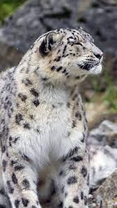 Snow Leopard Iphone X Wallpaper