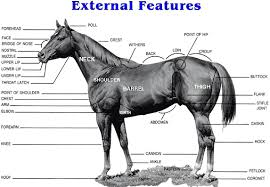 Horse Anatomy Pictures Think Like A Horse Rick Gore