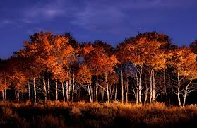 photo of aspens by dave black