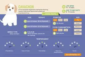 Cavalier Weight Chart Cavachon Cavalier King Charles Spaniel And Bichon Frise