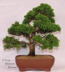 office bonsai tree. 50 juniper bonsai tree potted flowers office purify the air absorb harmful gases seeds free shipping