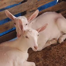 me gustan las cabras, ¿soy Gay o bixesual? Images?q=tbn:ANd9GcS3-3HpcRaXZvp_cbhUjBUIJcfhZi8TlGh4LFESxjs1Wn2DTJ7okg