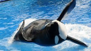 tilikum attack. Beautiful Tilikum Killer Whale Tilikum That Attacked Sea World Trainer Has Died Throughout Attack