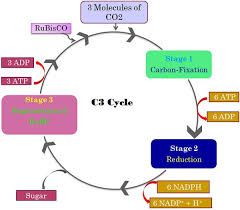 Difference Between C3 C4 And Cam Pathway With Comparison