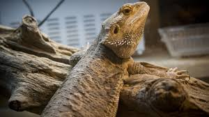 Animal Black Light Burns Providing Heat And Light For Pet Reptiles