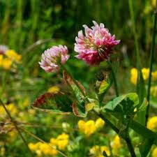 Trifolium hybridum | Online Atlas of the British and Irish Flora