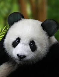 giant panda art prints on giant panda wall art with giant panda art fine art america