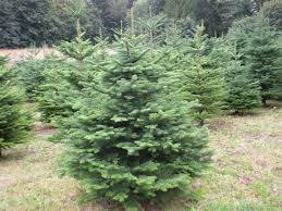 16 Types Of Christmas Trees  ProFlowersTypes Of Fir Christmas Trees