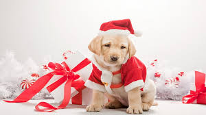 We hope you enjoyed the collection of christmas dog wallpaper. Dogs Christmas Wallpaper
