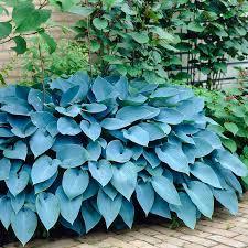 garden state bulb 3 pack hosta blue