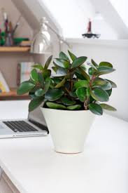 Baby or American Rubber Plant (Peperomia obtusifolia) Can survive in low  light. Water