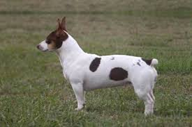 Rat Terrier Size Chart Teddy Roosevelt Terrier Dog Breed Information American