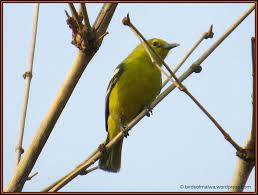 LORA BIRD | Beautiful birds, Beautiful creatures, Bird